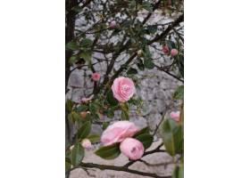背景模糊的粉色玫瑰花园的垂直镜头_8409229