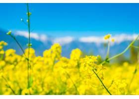 芥菜田美丽的白雪覆盖的山脉景观印度克_1129089