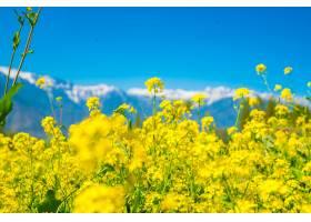 芥菜田美丽的白雪覆盖的山脉景观印度克_1254591