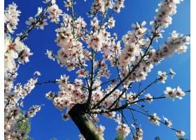 杏树上美丽的白花和蓝天的特写镜头_10303460