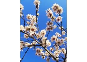 杏树上美丽的白花和蓝天的特写镜头_11062123