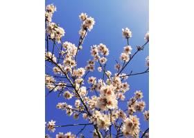杏树上美丽的白花和蓝天的特写镜头_11541794