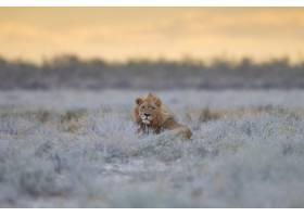 庄严的狮子在田野中央的草丛中骄傲地休息_8857580