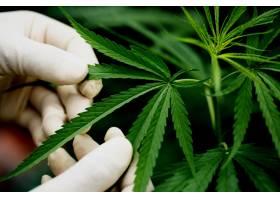 手里拿着大麻的绿叶_5218113