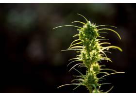 大麻叶美丽背景上的大麻_3972898