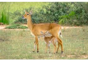 一只小鹿站在妈妈身边的特写镜头模糊了自然_7814523