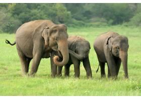 斯里兰卡国家公园里的大象_11012845