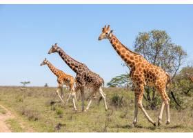 草原上的长颈鹿群_8097020