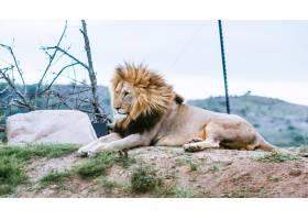 躺在山上的狮子朝另一个方向看_7957317