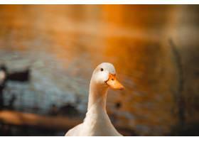 选择性聚焦拍摄一只白鹅站在湖边迷惑的眼神_7630360