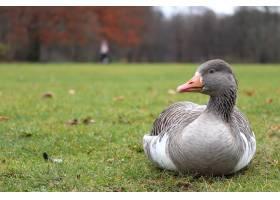背景模糊的灰色鸭子坐在草地上_8753388