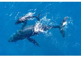 用无人机从高空拍摄的座头鲸在夏威夷卡帕鲁_11354022