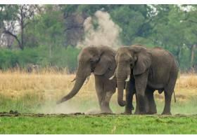 一对非洲象在尘土飞扬绿树成荫的土地上行_12177105