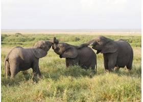非洲肯尼亚安博塞利国家公园的大象群_11426722