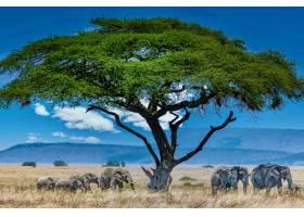 荒野中绿树下的一群大象_10477495