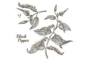 黑胡椒植物的插图有叶子和花椒隔离在白_3264650