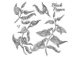 背景上隔离有叶子和花椒的黑胡椒植物_3519575