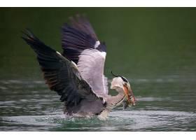 一只Ardea Herdias鸟在湖泊上空钓鱼的特写_12304878