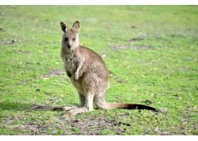 一只小袋鼠站在背景模糊的草地上的特写镜头_9853181