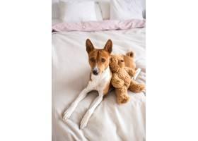 可爱可爱的巴森吉品种的小狗躺在床上铺着_11277945