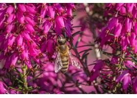 一只大黄蜂在松散石榴科美丽的紫色花朵上采_11111951