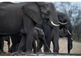 一群大象的特写镜头_10111386