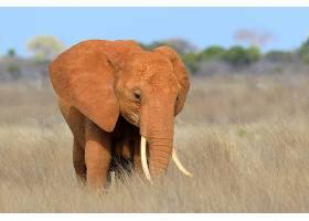 非洲肯尼亚国家公园里的大象_11011832