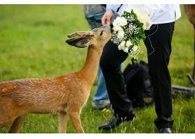 小鹿吃新郎手中的结婚花束_1471400