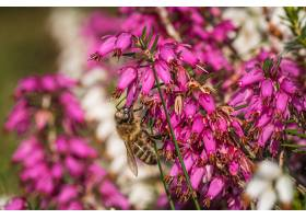 一只大黄蜂在松散石榴科美丽的紫色花朵上采_11487341