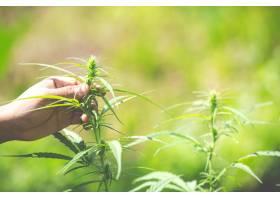 大麻叶美丽背景上的大麻_3972887