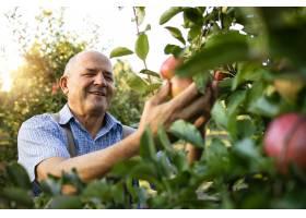 面带微笑的老工人在果园里摘苹果_11139272