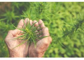 农民在他们的农场种植大麻树_4838851