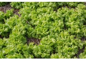 可以在花园里收获的绿色沙拉_5490731