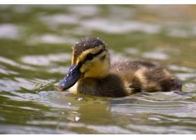 池塘表面上美丽的小鸭子阳光明媚的夏日里_2924516