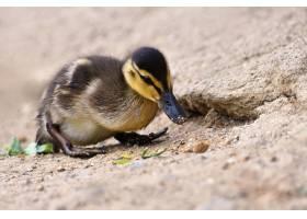 池塘表面上美丽的小鸭子阳光明媚的夏日里_2924521