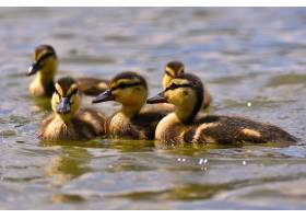 池塘表面上美丽的小鸭子阳光明媚的夏日里_2924522