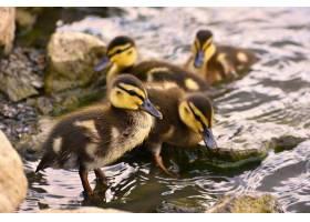 池塘表面上美丽的小鸭子阳光明媚的夏日里_2924515
