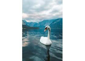 一只白色天鵝的垂直的射擊在湖在哈爾斯特圖_13962531