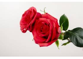 在白色背景隔绝的红色颜色玫瑰侧视图_8896057