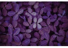 紫色叶子植物织地不很细背景_15438912