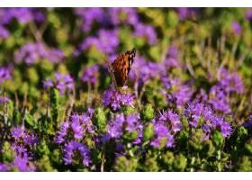 收集花粉的Vanessa Candui蝴蝶在地中海百里_13962656