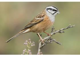 岩石旗布鸟的美好的射击在一个分支栖息在森_14110228