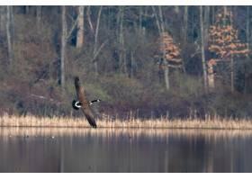 飞行在树围拢的被围拢的黑白鸟在秋天_10729648