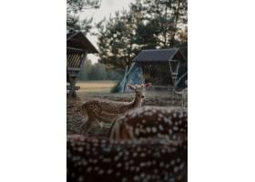 选择聚焦射击了白尾鹿在农田_13061647