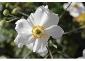 特写镜头射击了白色日本银莲花属_11062960