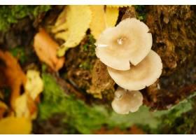 生长在土壤的蘑菇围拢的干黄色叶子_11063097