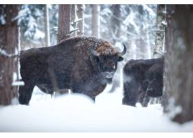 欧洲北美野牛在冬天时间北美野牛博纳斯期间_16205766
