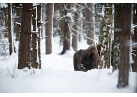 欧洲北美野牛在冬天时间北美野牛博纳斯期间_16205787