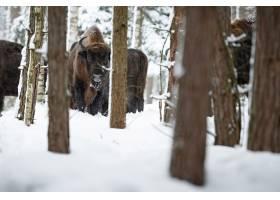 欧洲北美野牛在冬天时间北美野牛博纳斯期间_16205807