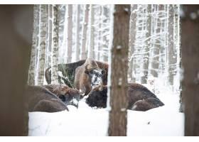 欧洲北美野牛在冬天时间北美野牛博纳斯期间_16205827